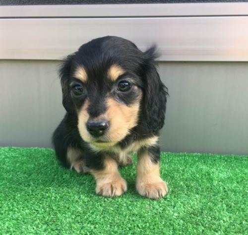 カニンヘンダックスフンド(ロング)の子犬(ID:1246311022)の2枚目の写真/更新日:2019-03-06