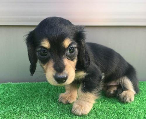 カニンヘンダックスフンド(ロング)の子犬(ID:1246311022)の3枚目の写真/更新日:2019-03-06