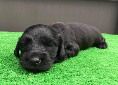 カニンヘンダックスフンド(ロング)の子犬(ID:1246311023)の1枚目の写真/更新日:2019-03-06