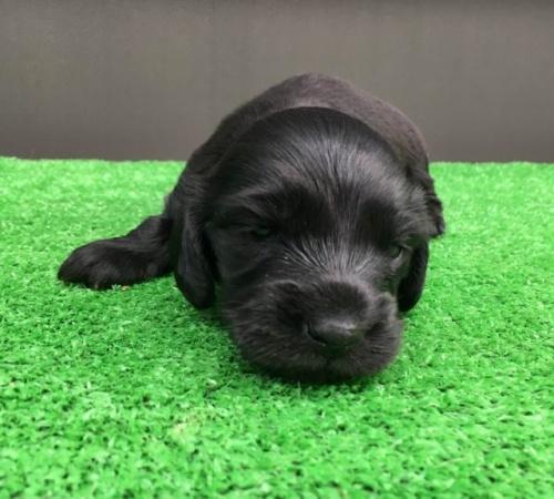 カニンヘンダックスフンド(ロング)の子犬(ID:1246311023)の2枚目の写真/更新日:2019-03-06