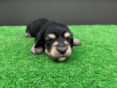 カニンヘンダックスフンド(ロング)の子犬(ID:1246311024)の1枚目の写真/更新日:2020-10-24