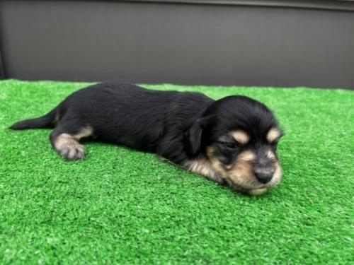 カニンヘンダックスフンド(ロング)の子犬(ID:1246311024)の2枚目の写真/更新日:2020-10-24
