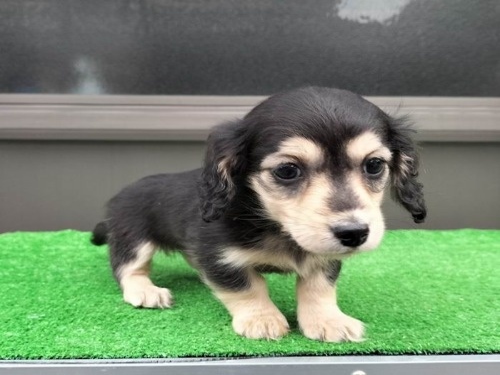 カニンヘンダックスフンド(ロング)の子犬(ID:1246311024)の3枚目の写真/更新日:2020-10-24