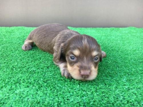 カニンヘンダックスフンド(ロング)の子犬(ID:1246311025)の1枚目の写真/更新日:2020-11-20