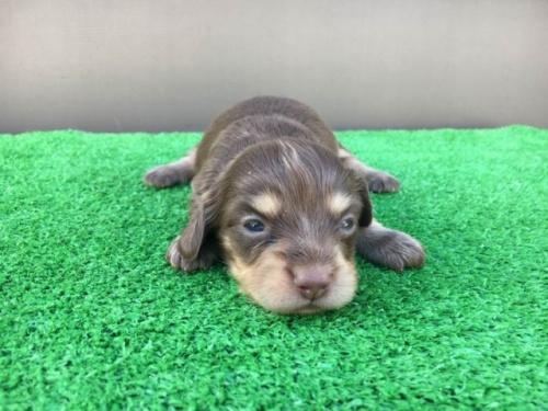 カニンヘンダックスフンド(ロング)の子犬(ID:1246311025)の2枚目の写真/更新日:2020-11-20