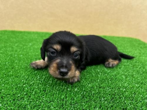 カニンヘンダックスフンド(ロング)の子犬(ID:1246311026)の2枚目の写真/更新日:2020-11-13