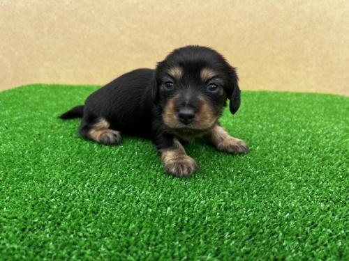 カニンヘンダックスフンド(ロング)の子犬(ID:1246311026)の3枚目の写真/更新日:2020-11-13