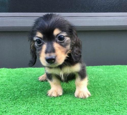カニンヘンダックスフンド(ロング)の子犬(ID:1246311027)の1枚目の写真/更新日:2021-07-04