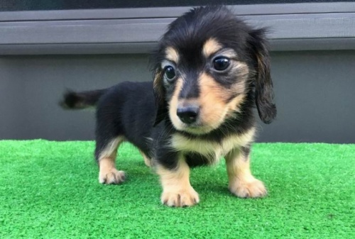 カニンヘンダックスフンド(ロング)の子犬(ID:1246311027)の2枚目の写真/更新日:2021-07-04