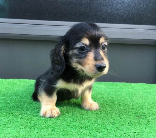 カニンヘンダックスフンド(ロング)の子犬(ID:1246311027)の4枚目の写真/更新日:2021-10-11