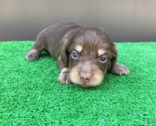 カニンヘンダックスフンド(ロング)の子犬(ID:1246311028)の1枚目の写真/更新日:2021-10-05