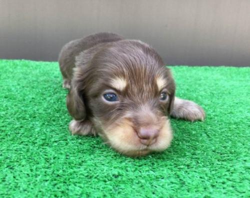 カニンヘンダックスフンド(ロング)の子犬(ID:1246311028)の2枚目の写真/更新日:2021-10-05