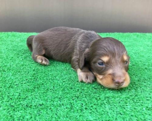 カニンヘンダックスフンド(ロング)の子犬(ID:1246311030)の3枚目の写真/更新日:2021-10-05