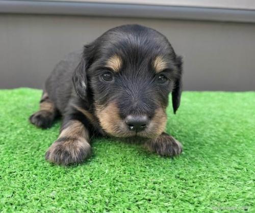 カニンヘンダックスフンド(ロング)の子犬(ID:1246311032)の1枚目の写真/更新日:2018-10-23