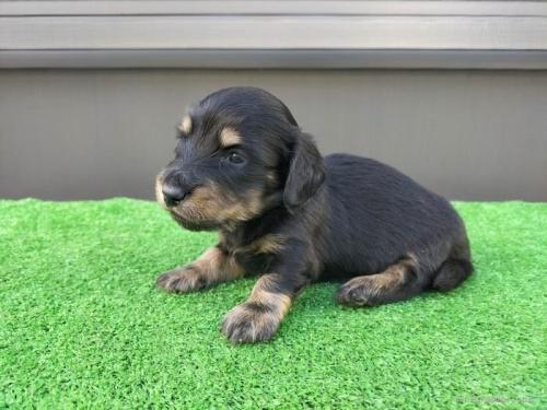 カニンヘンダックスフンド(ロング)の子犬(ID:1246311032)の2枚目の写真/更新日:2018-10-23