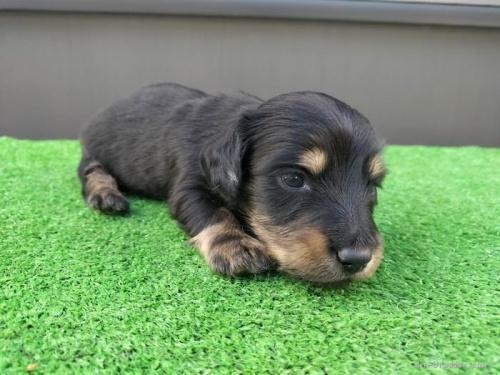 カニンヘンダックスフンド(ロング)の子犬(ID:1246311032)の4枚目の写真/更新日:2018-10-23