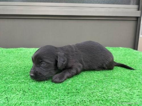 カニンヘンダックスフンド(ロング)の子犬(ID:1246311033)の2枚目の写真/更新日:2018-10-12