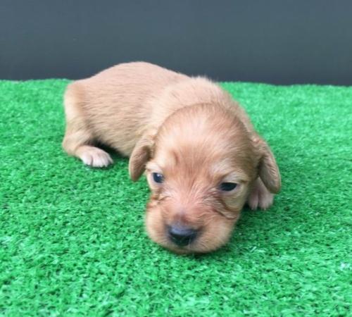 カニンヘンダックスフンド(ロング)の子犬(ID:1246311037)の1枚目の写真/更新日:2019-02-12