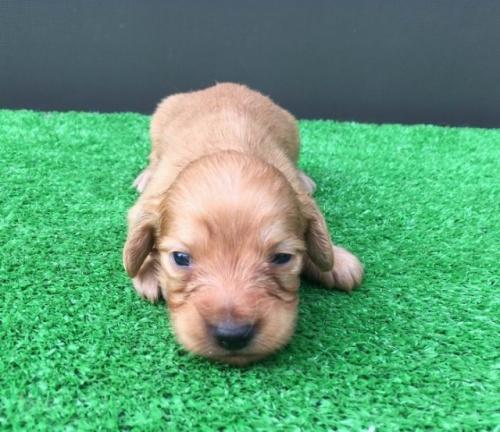 カニンヘンダックスフンド(ロング)の子犬(ID:1246311037)の3枚目の写真/更新日:2019-02-12