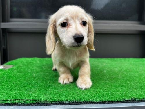カニンヘンダックスフンド(ロング)の子犬(ID:1246311038)の1枚目の写真/更新日:2020-10-24