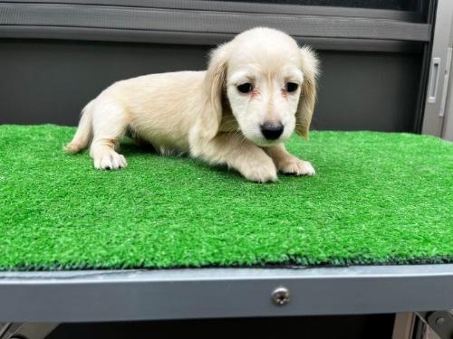 カニンヘンダックスフンド(ロング)の子犬(ID:1246311038)の2枚目の写真/更新日:2020-10-24