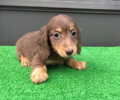 カニンヘンダックスフンド(ロング)の子犬(ID:1246311041)の1枚目の写真/更新日:2020-09-13