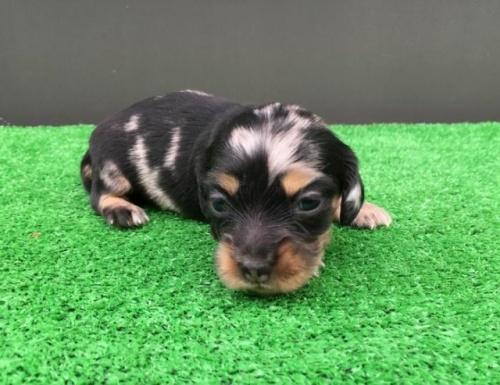 カニンヘンダックスフンド(ロング)の子犬(ID:1246311044)の1枚目の写真/更新日:2020-09-13