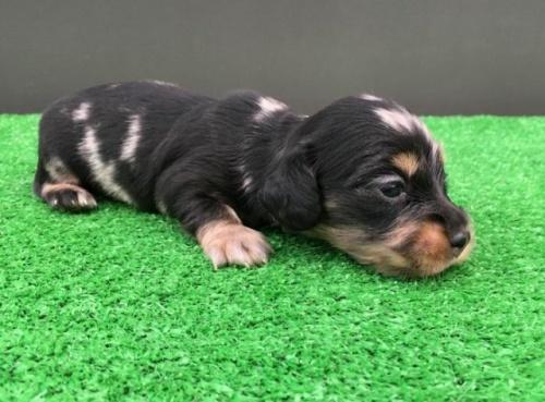 カニンヘンダックスフンド(ロング)の子犬(ID:1246311044)の2枚目の写真/更新日:2018-05-28
