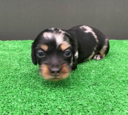 カニンヘンダックスフンド(ロング)の子犬(ID:1246311044)の3枚目の写真/更新日:2018-05-28