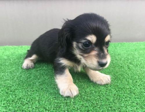 カニンヘンダックスフンド(ロング)の子犬(ID:1246311047)の1枚目の写真/更新日:2017-01-20
