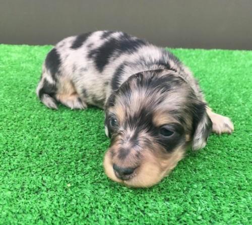 カニンヘンダックスフンド(ロング)の子犬(ID:1246311048)の1枚目の写真/更新日:2017-01-31