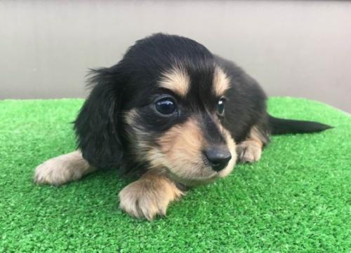 カニンヘンダックスフンド(ロング)の子犬(ID:1246311049)の1枚目の写真/更新日:2017-01-31