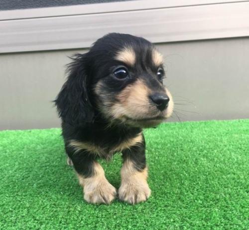 カニンヘンダックスフンド(ロング)の子犬(ID:1246311049)の2枚目の写真/更新日:2017-01-31