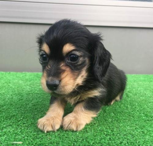 カニンヘンダックスフンド(ロング)の子犬(ID:1246311050)の1枚目の写真/更新日:2017-02-07