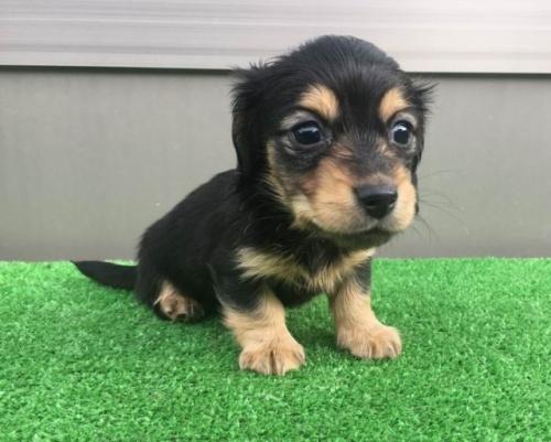 カニンヘンダックスフンド(ロング)の子犬(ID:1246311050)の2枚目の写真/更新日:2017-02-07