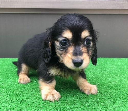 カニンヘンダックスフンド(ロング)の子犬(ID:1246311052)の1枚目の写真/更新日:2017-04-16