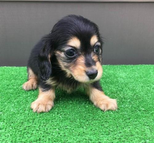 カニンヘンダックスフンド(ロング)の子犬(ID:1246311052)の2枚目の写真/更新日:2017-04-16