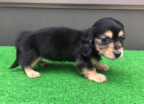 カニンヘンダックスフンド(ロング)の子犬(ID:1246311052)の3枚目の写真/更新日:2019-05-21