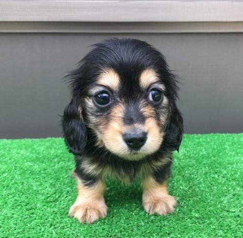 カニンヘンダックスフンド(ロング)の子犬(ID:1246311052)の4枚目の写真/更新日:2019-05-21