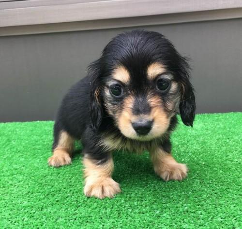 カニンヘンダックスフンド(ロング)の子犬(ID:1246311052)の5枚目の写真/更新日:2019-05-21