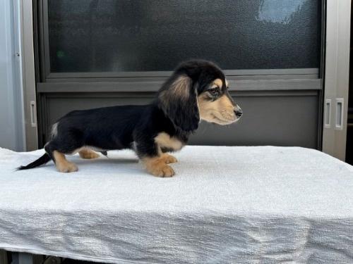 カニンヘンダックスフンド(ロング)の子犬(ID:1246311053)の3枚目の写真/更新日:2017-04-16