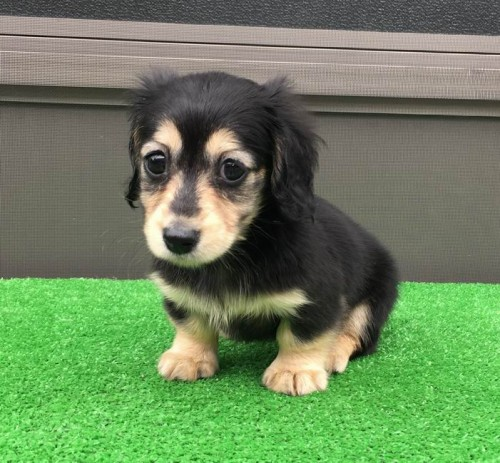 カニンヘンダックスフンド(ロング)の子犬(ID:1246311054)の1枚目の写真/更新日:2019-05-27
