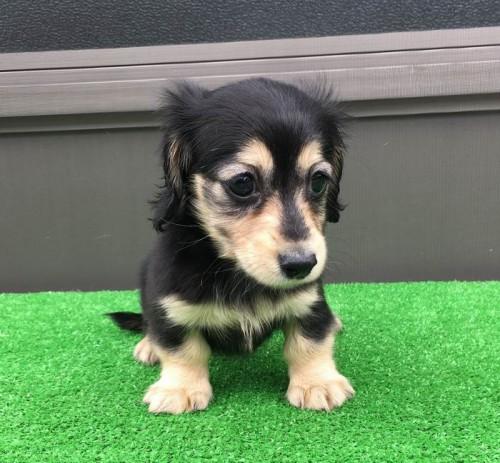 カニンヘンダックスフンド(ロング)の子犬(ID:1246311054)の2枚目の写真/更新日:2019-05-27