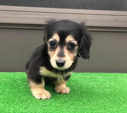 カニンヘンダックスフンド(ロング)の子犬(ID:1246311054)の3枚目の写真/更新日:2017-04-16