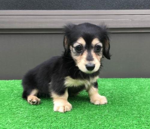 カニンヘンダックスフンド(ロング)の子犬(ID:1246311054)の4枚目の写真/更新日:2017-04-16