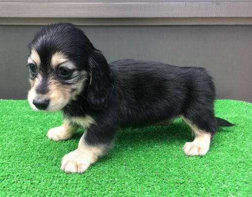 カニンヘンダックスフンド(ロング)の子犬(ID:1246311054)の5枚目の写真/更新日:2019-05-27