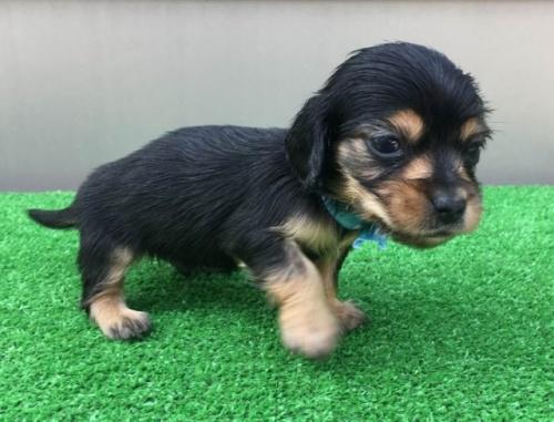 カニンヘンダックスフンド(ロング)の子犬(ID:1246311055)の1枚目の写真/更新日:2017-05-06