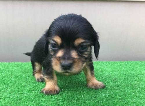 カニンヘンダックスフンド(ロング)の子犬(ID:1246311055)の2枚目の写真/更新日:2019-05-06