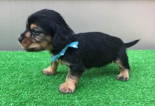 カニンヘンダックスフンド(ロング)の子犬(ID:1246311055)の3枚目の写真/更新日:2017-05-06