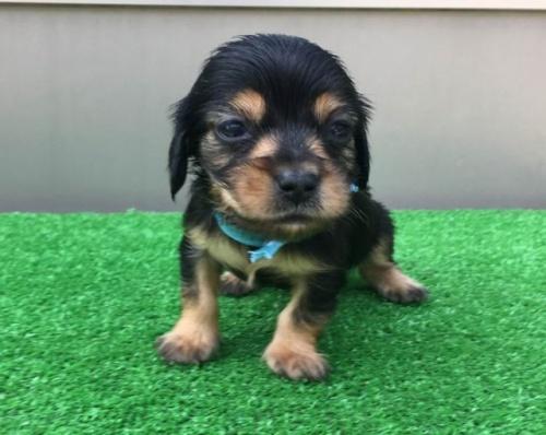 カニンヘンダックスフンド(ロング)の子犬(ID:1246311055)の4枚目の写真/更新日:2019-05-06
